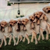 щенки на веревке