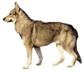 чешская волчья овчарка