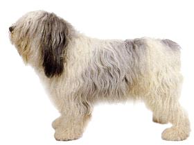 польская овчарка