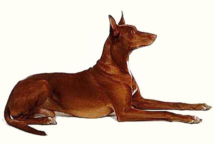 Из истории породы собаки фараонов.  Полагают, что финикийцы