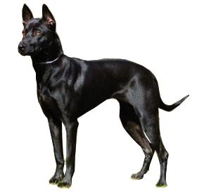 Далматин фото и видео породы собак описание стандарта и
