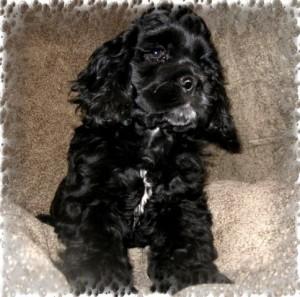 щенок американского кокер спаниеля