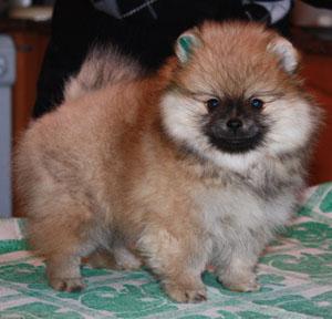 фото собак маленьких пушистых